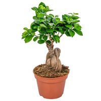 Floraya Ficus Ginseng 1 Stück - Höhe 35 Cm