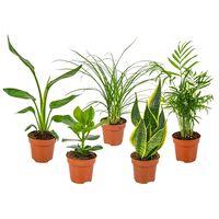 Floraya 5 Stück Mischen Pflegeleicht Zimmerpflanzen - Höhe 35 Cm