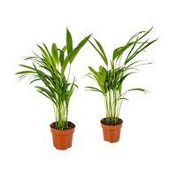 Floraya Areca-palme - Dypsis 2 Stücke - Höhe 45 Cm