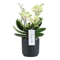 Floraya Orchidee Sensation - Weiß - In Antraciet Topf 12cm - Höhe 45cm