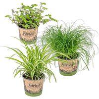 Floraya 3 Stück Haustierfreundlich Zimmerpflanzen - Höhe 20-25 Cm