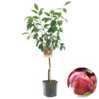 Floraya Pflaumenbaum - Pyrus Victoria Niedriger Stiel - Höhe 150-160cm