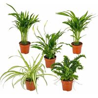 Floraya 5 Stück Mischen Luftreinigende Zimmerpflanzen - Höhe 35 Cm