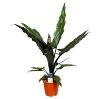 Floraya Alocasia Lauterbachiana - Elefantenohr - Topf 19cm - Höhe 65cm