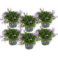 Floraya Glockenblume - Lavender 6 Stück - Höhe 15-20cm