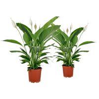 Floraya Friedenslilie - Spathiphyllum Vivaldi 2 Stücke - Höhe 70 Cm
