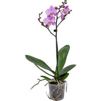 Floraya Orchidee - Phalaenopsis Rosa 1 Stück - Höhe 40 Cm