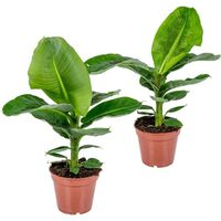 Floraya 2 Stücke Bananenpflanze - Musa Tropicana Höhe 40 Cm