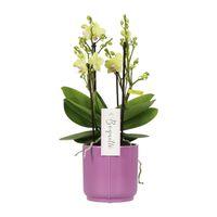 Floraya Orchidee Sensation - Weiß - In Lila Topf 12cm - Höhe 45cm