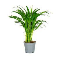Floraya Dypsis - Areca-palme 1 Stück - Höhe 50-60 Cm