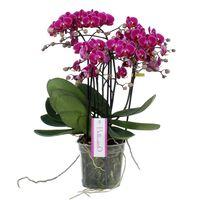 Floraya Orchidee Caro -  Rosa - Topfgröße 15cm - Höhe 45cm