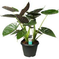 Floraya Alocasia Wentii - Elefantenohr - Topfgröße 35cm - Höhe 105cm