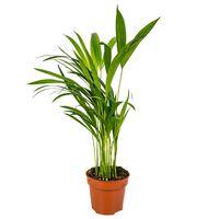 Floraya Areca-palme - Dypsis 1 Stück - Höhe 45 Cm